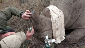 Tech firm Sigfox develops tiny tracker to help fight rhino poaching