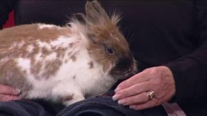 Adopt a pet: April the Lionhead rabbit