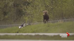 Moose protecting 2 calves charges cyclist on Alaska bike trail