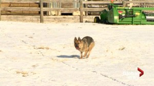 RCMP believe rural dogs being targeted, stolen from Fort Macleod homes