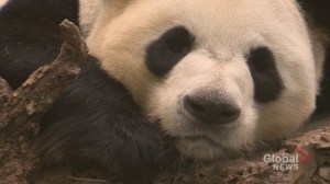 Thousands turn out to see the pandas at the Calgary Zoo