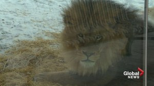 Peacock killed by lions at Calgary Zoo