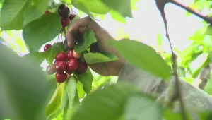 More Okanagan fruit growers to be blocked from hiring Mexican workers