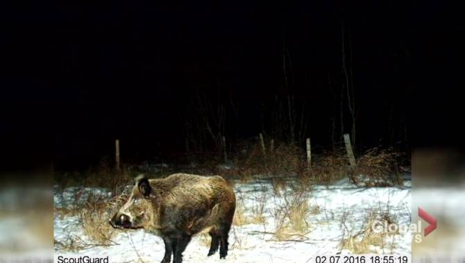 Time for a boar-der wall? U.S. fears invasion of feral hogs from Canada