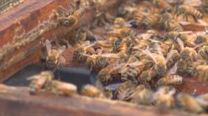 Bumblebee species added to endangered list