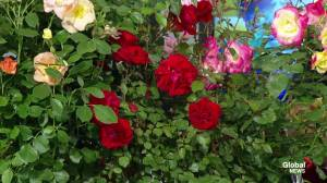 Tips to growing roses in the Edmonton region