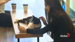 Toronto Humane Society removes cats from TOT Cat Café