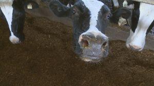 Saskatchewan dairy farmers caught in the middle of turbulent NAFTA talks