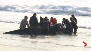 Beached orca whales saved along Argentine coast