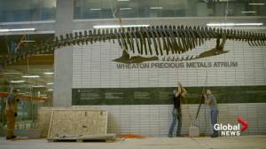 Installation at UBC of enormous ancient 'sea monster'