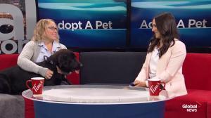 Adopt A Pet: Black Lab Cross