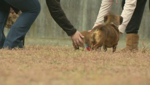 Dachshunds race to be top dog in Regina