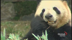 Giant pandas prepare for cross-country trip to the Calgary Zoo