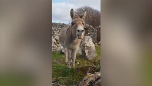 Man records donkey in Ireland delivering a positively operatic vocal performance