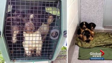 25 of 72 dogs seized in Edmonton being cared for, to be