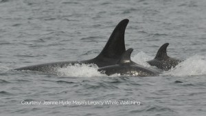 What's behind the orca baby boom ?