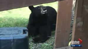 Alberta sees spike in bear sightings