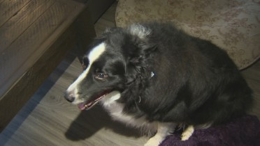 Severely Obese Border Collie Begins Weight Loss Journey Says