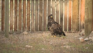 'It's suspected she was a falconer's bird': rare falcon brought to Oliver raptor rehab centre