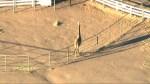 Giraffe safe despite California wildfires
