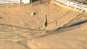 Giraffe safe despite California wildfires