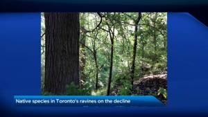 Native species in Toronto's ravines on the decline