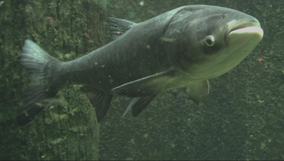 Why are asian carp harmful