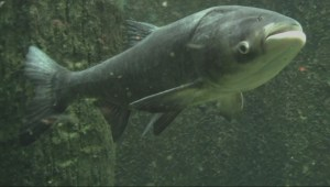 Asian carp caught in St. Lawrence River