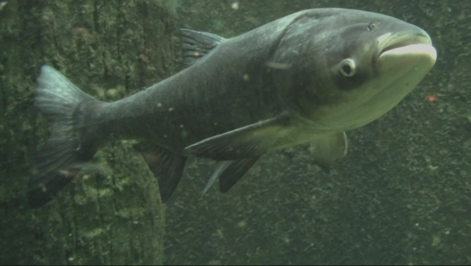 asian carp Asian carp—the silver and the bighead—introduced in the 1970s to southern catfish farms and municipal sewage ponds to eat the overgrowth of algae, escaped.