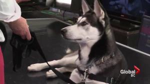 Adopt a Pet: Luna the Husky
