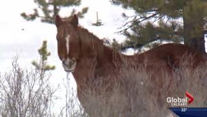 Birth control for Alberta's wild horses