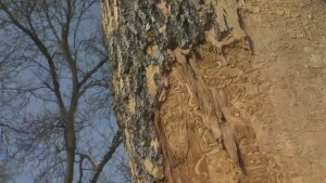 City expects to spend $105 million to fight impact of emerald ash borer in Winnipeg