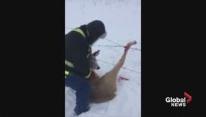 Raw: Alberta men rescue deer tangled in fence