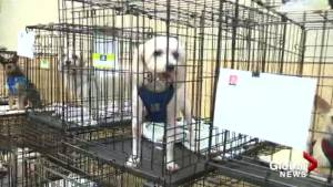 Rescue group brings 68 dogs to Kelowna for adoption event