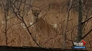 Calgary woman comes face-to-face with cougar in Fish Creek Park