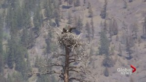 Crews battling wildfire east of Kamloops save eagle's nest from flames