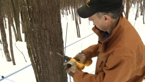 Maple syrup producers start the season early in Kingston region