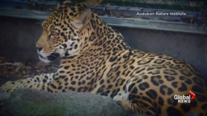 Jaguar escapes at New Orleans zoo, kills 6 other animals before capture