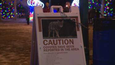 2 attacks on humans prompt 'brazen' coyote warning from City of