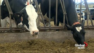 Maritime dairy farmer groups unhappy with NAFTA replacement