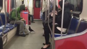 Curious East Vancouver crow rides SkyTrain
