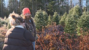 New Brunswick Christmas tree growers enjoying growing demand for real trees