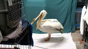 Injured pelican to spend summer recovering at wildlife rehab