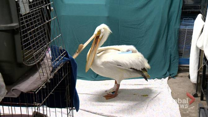 Salthaven West looking for fish donations to feed recovering pelican