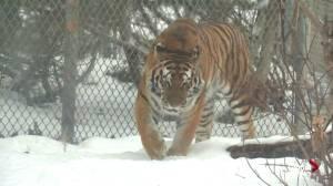 Edmonton Valley Zoo: Amba and Taiga the Siberian (Amur) tigers