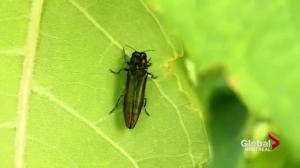 Emerald ash borer appears in Quebec City
