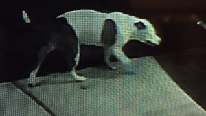 Surveillance video shows large dog enter Richmond man's home