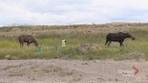 Calgary airport watching out for potential dangers posed by moose near runways