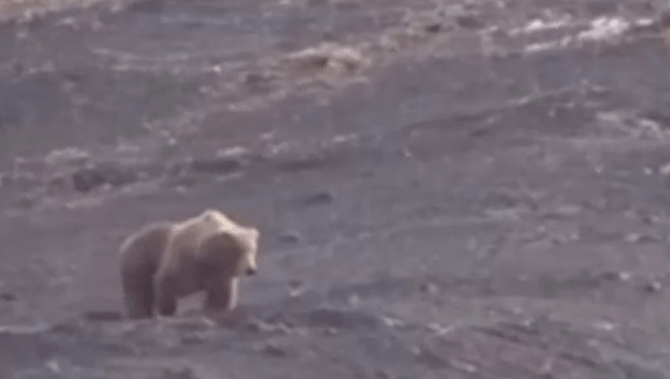 WARNING Graphic Content Video Showing Grizzly Bear Getting Shot - This bear is rolling down a hill is having the time of his life