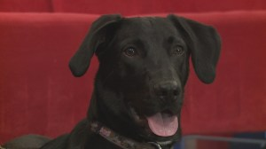 Adopt a Pet: Milo the Lab Cross